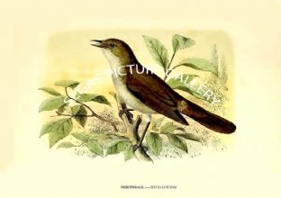 NIGHTINGALE. ---- SYLVIA LUSCINIA